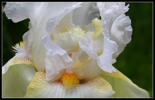 Iris 'Charming Ann' - Ladislav Muska 1994 - NE 34188818784_e3382d1340
