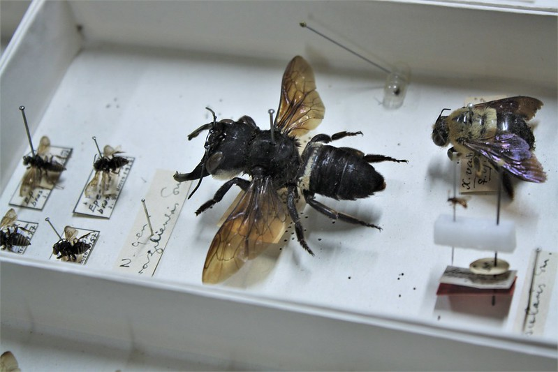Megachile pluto, пчела фотография насекомые фото