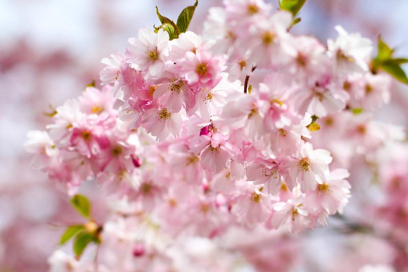 kirsikankukkia 4