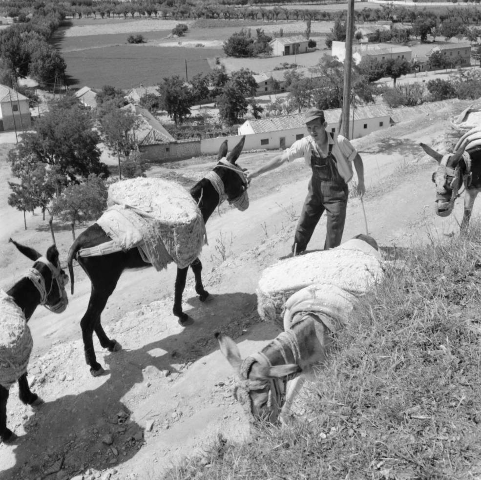 Subiendo arena con burros al Paseo de Recaredo hacia 1960. Fotografía de Eugene V. Harris o Clarence Woodrow Sorensen © University of Wisconsin-Milwaukee/The Board of Regents of the University of Wisconsin System