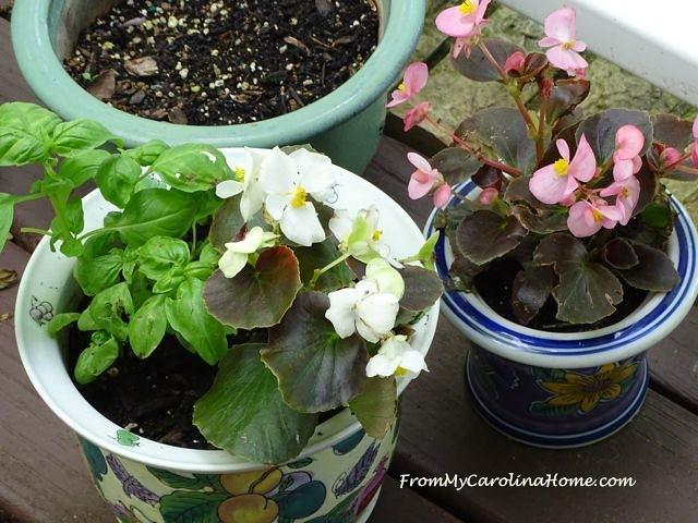 White and pink begonias