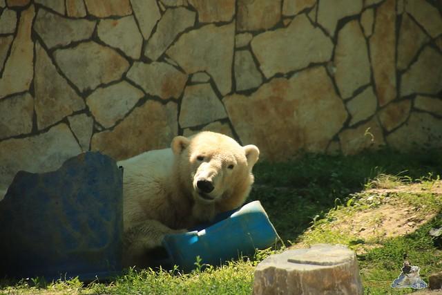 Eisbär Fiete im Zoo Sosto 29.05.2017 145