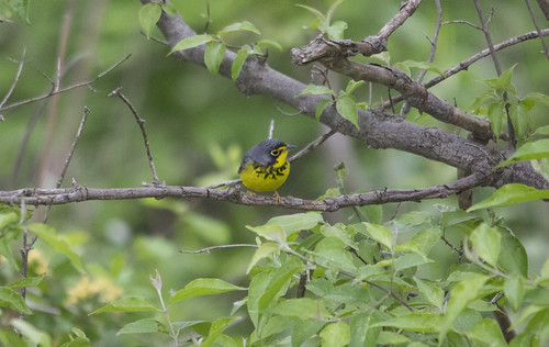 Canada Warbler | by Birding In New Jersey