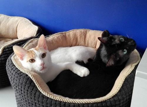 Gary, gatito blanco y naranja cruce Van Turco esterilizado muy activo nacido en Julio´16, en adopción. Valencia. ADOPTADO. 34843417931_67d307392a