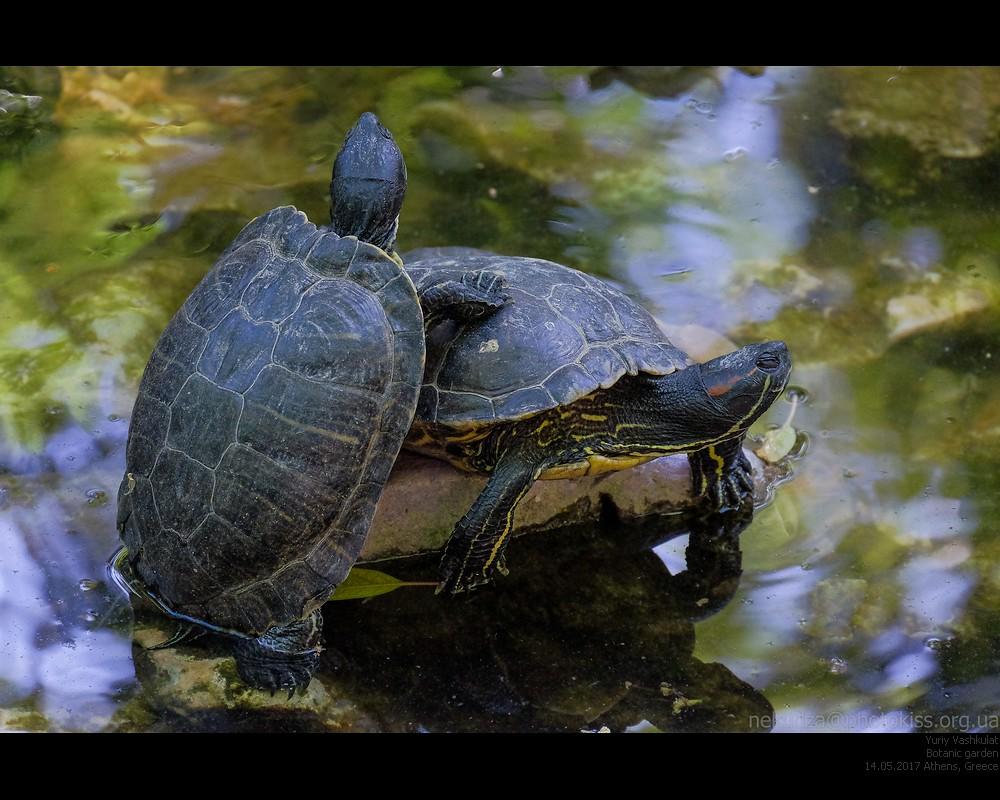 athens17_turtles1