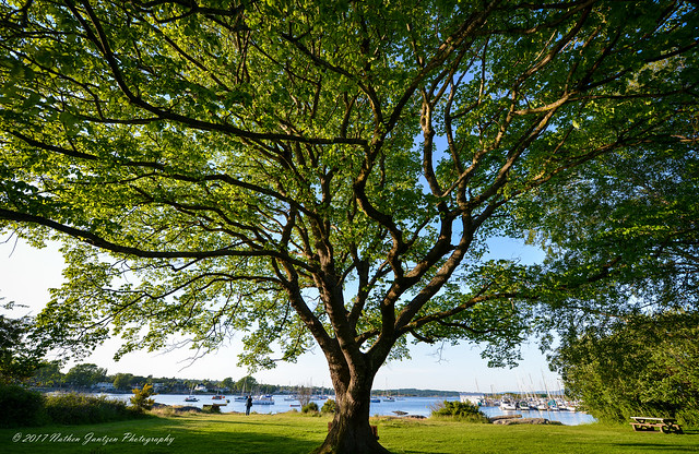 Beech Tree in Oak Bay