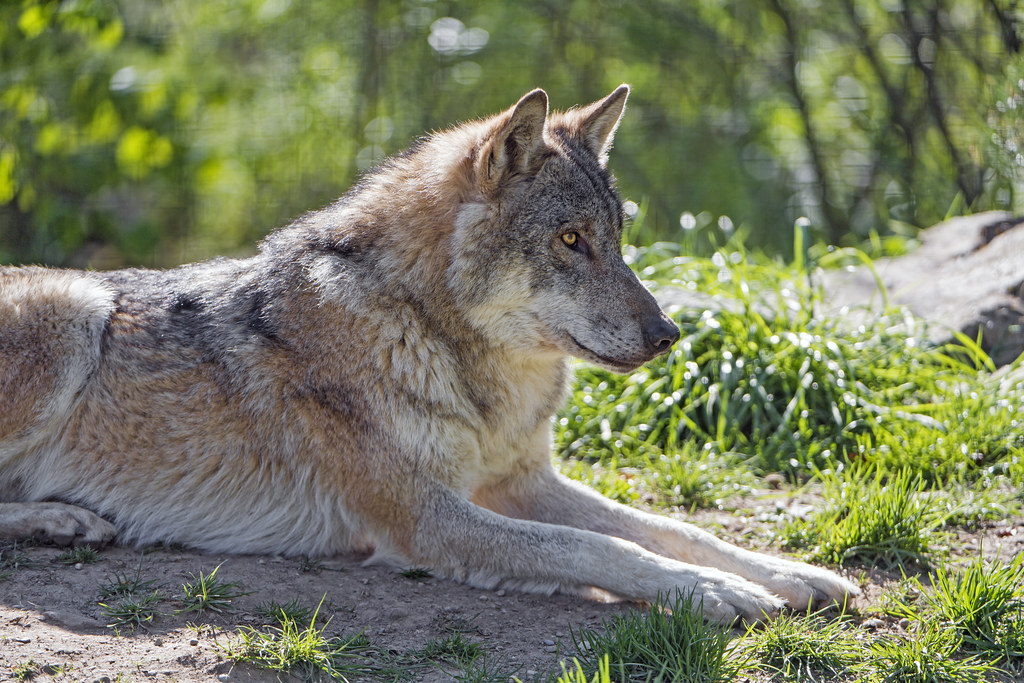 Profile of a wolf lying down | Profile of a wolf lying in ...  Profile of a wo...