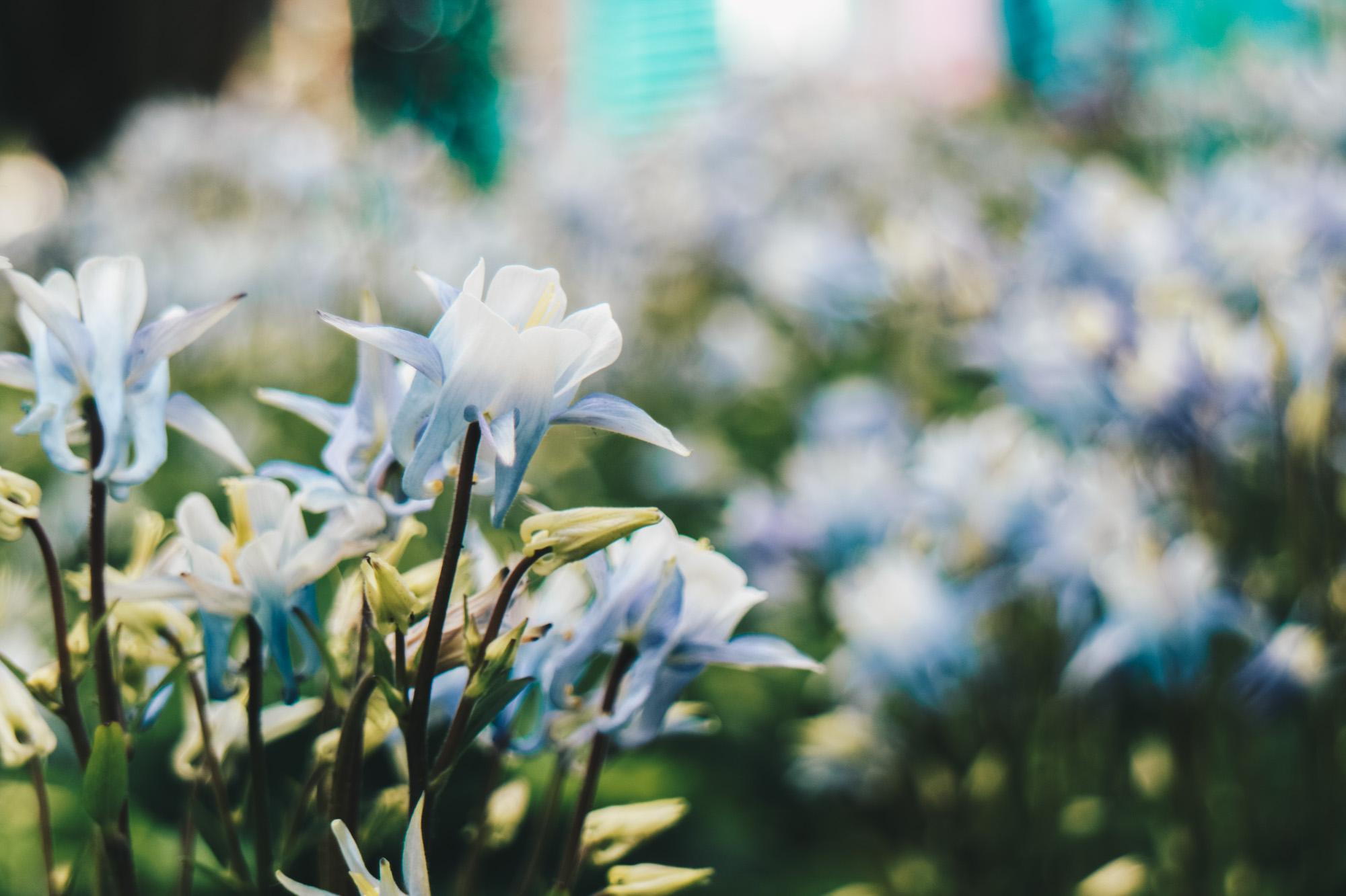 Blue-beauties-floral-display-gardensbythebay-darrenbloggie3