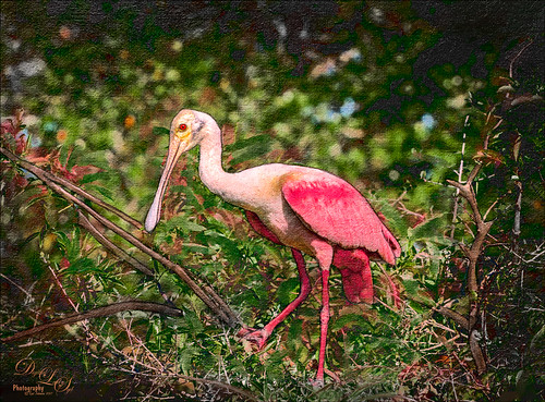 Image of a Roseate Spoonbill from the St. Augustine Alligator Farm Rookery