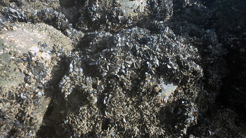 Unidentified mussels at Punggol