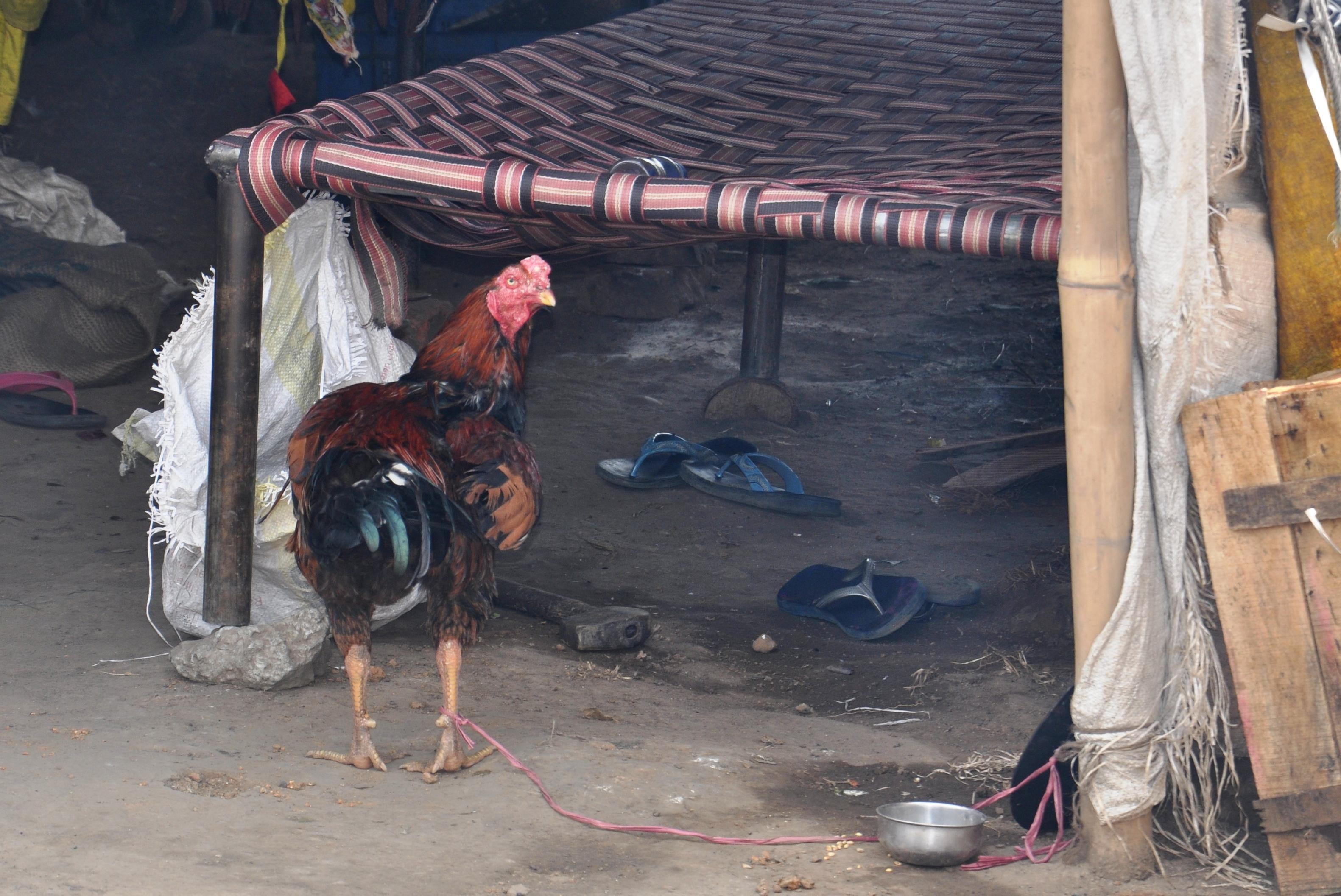 घर से दूर होने के बावजूद भी ये अपनी संस्कृति का पालन उसी श्रदा से करते है जैसे वो अपने घर पर किया करते थे | हर साल दिवाली पर मुर्गे की बली देते है ये उनकी परम्परा है |