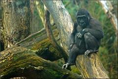 Posing young gorilla