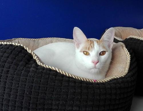 Gary, gatito blanco y naranja cruce Van Turco esterilizado muy activo nacido en Julio´16, en adopción. Valencia. ADOPTADO. 34587934450_95f10c0c66