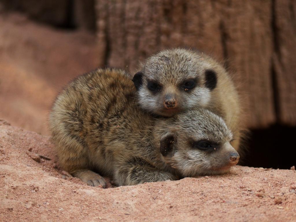Meerkat cubs / Junge Erdmännchen