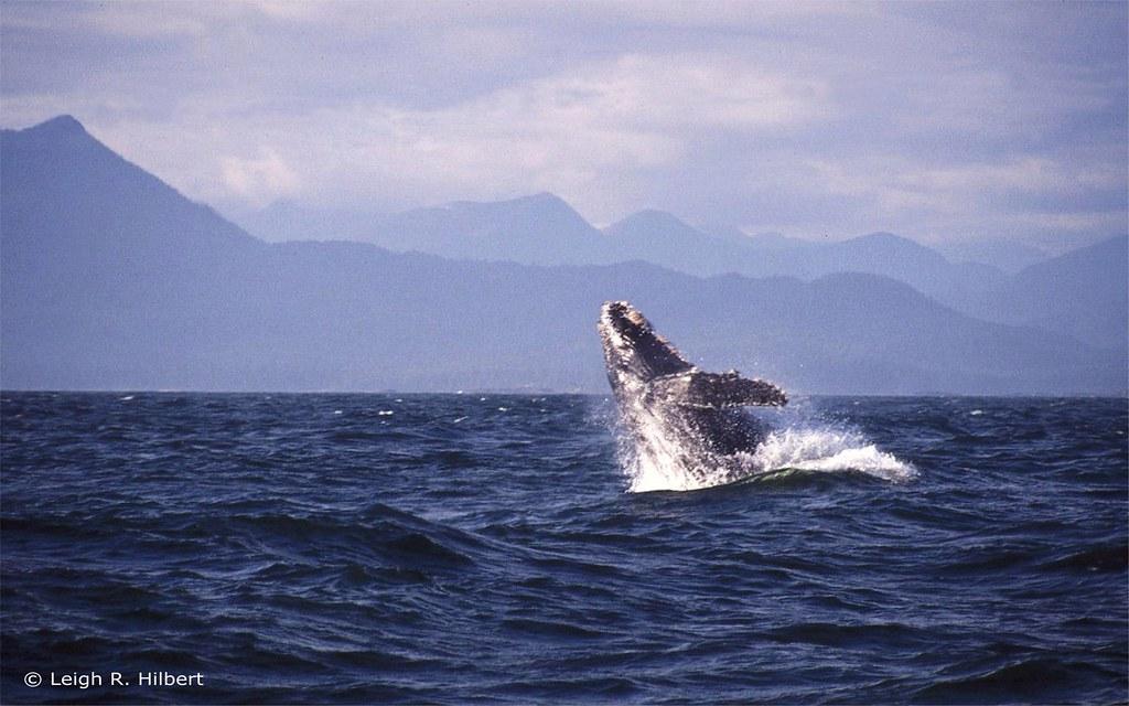 座頭鯨從水中躍出水面的動作(Breach)。Leigh Hilbert(CC BY-SA 2.0)