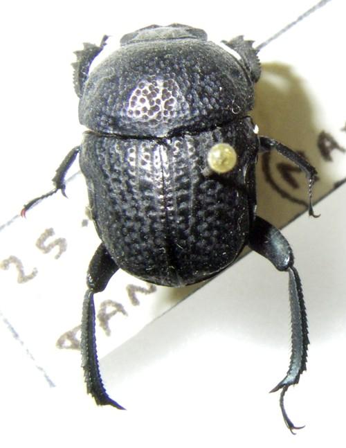 Gymnopleurus flagellatus 34878927941_5fa9a61479_o