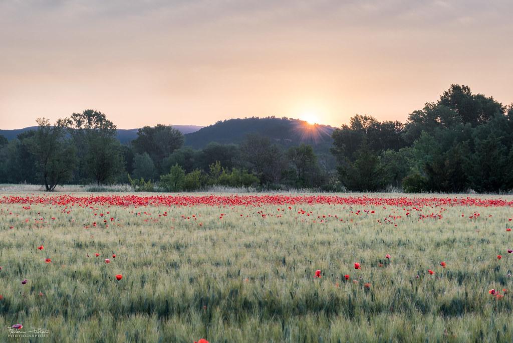 Lever de soleil sur un champ de coquelicots