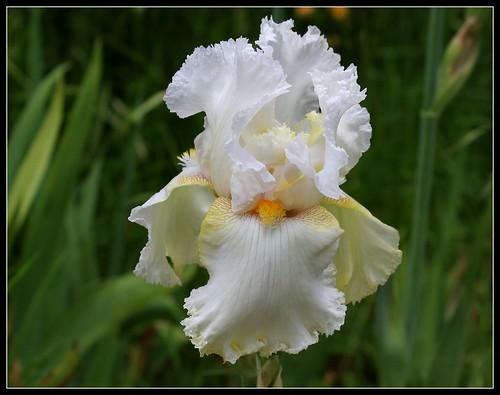Iris 'Charming Ann' - Ladislav Muska 1994 - NE 34900516541_5a60e498a9