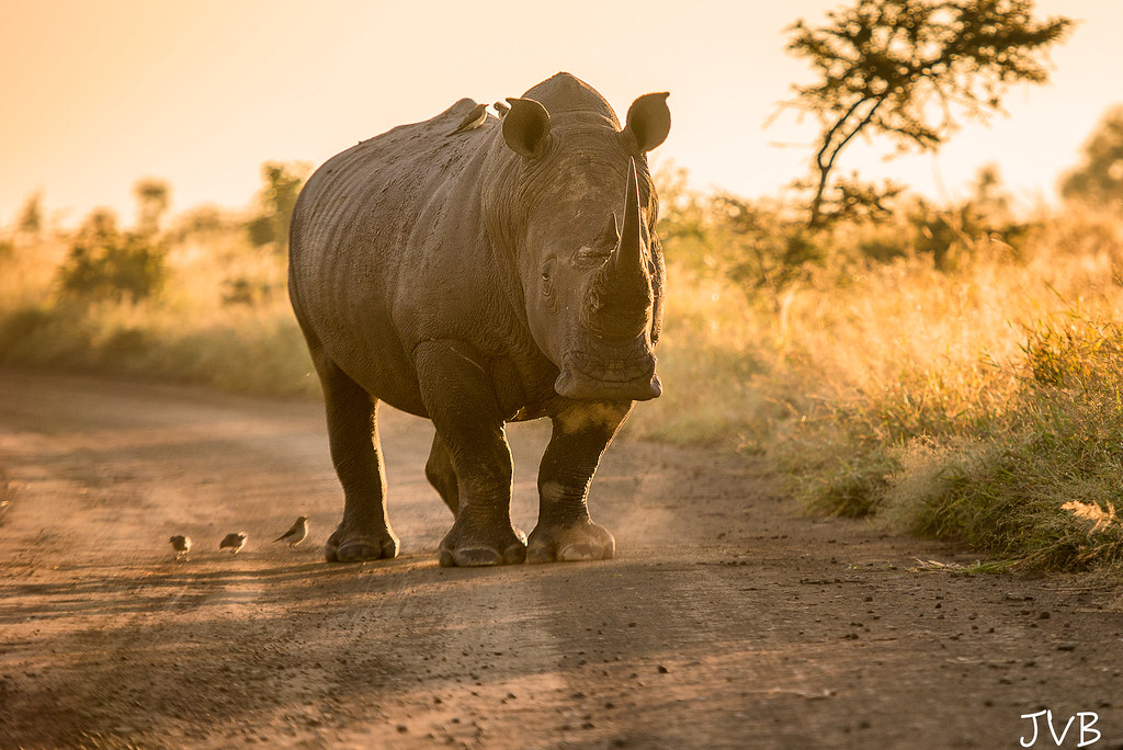 Rinoceronte causando un atasco al amanecer/Rhino causing a roadblock at sunrise