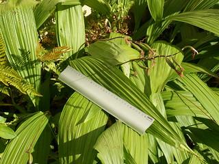 Bletilla striata - orchidée du Japon - Page 3 35245681841_b3e63bb54b_n