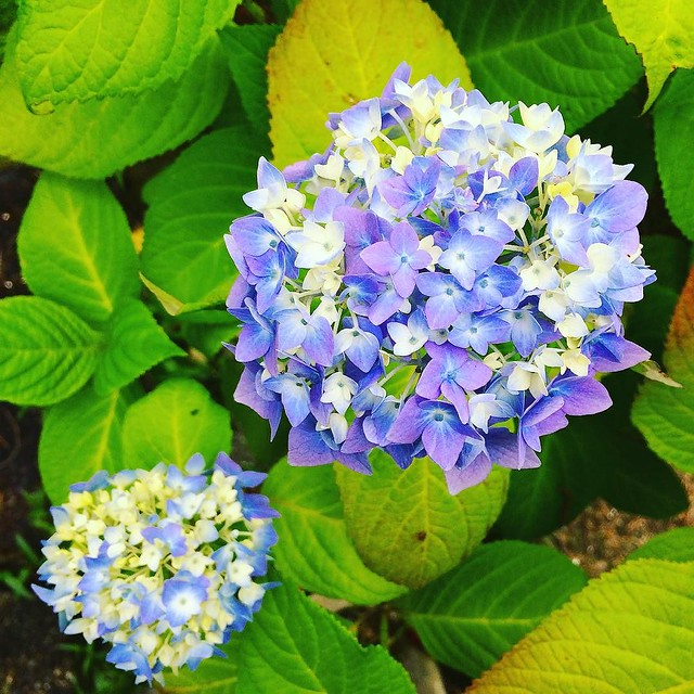 "The ""Endless Summer"" hydrangea is beginning to bloom."