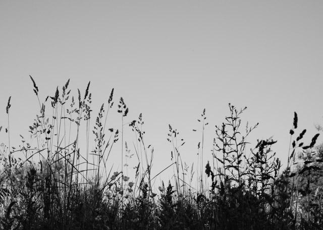 black and white grasses