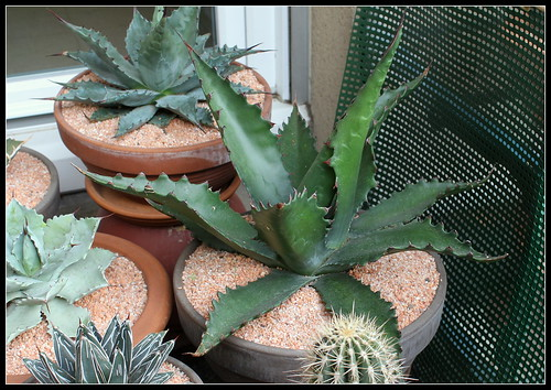 Agave gentryi 'Jaws' 34264809514_c210bf1a28