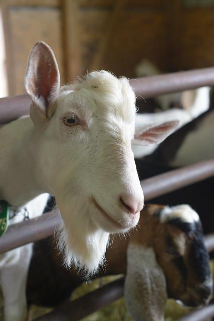 goat farm-47