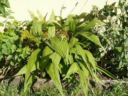 Bletilla striata - orchidée du Japon - Page 3 34565529583_48e547b3d7