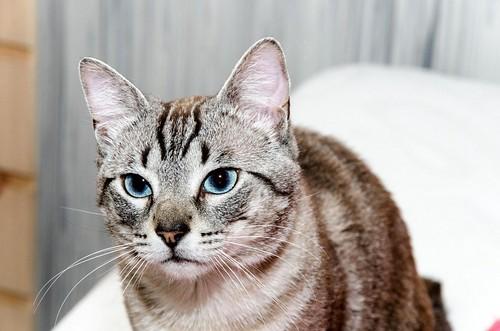 Tango, gato Siamés Tabby de colita corta esterilizado muy guapo, nacido en Enero´16, en adopción. Valencia. ADOPTADO. 34579755764_84cd95271f