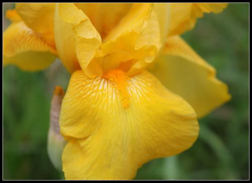 Iris 'Zantha' - O. Fay 1947 34606687680_aeebf51ce8