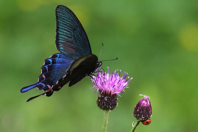 Papilio bianor