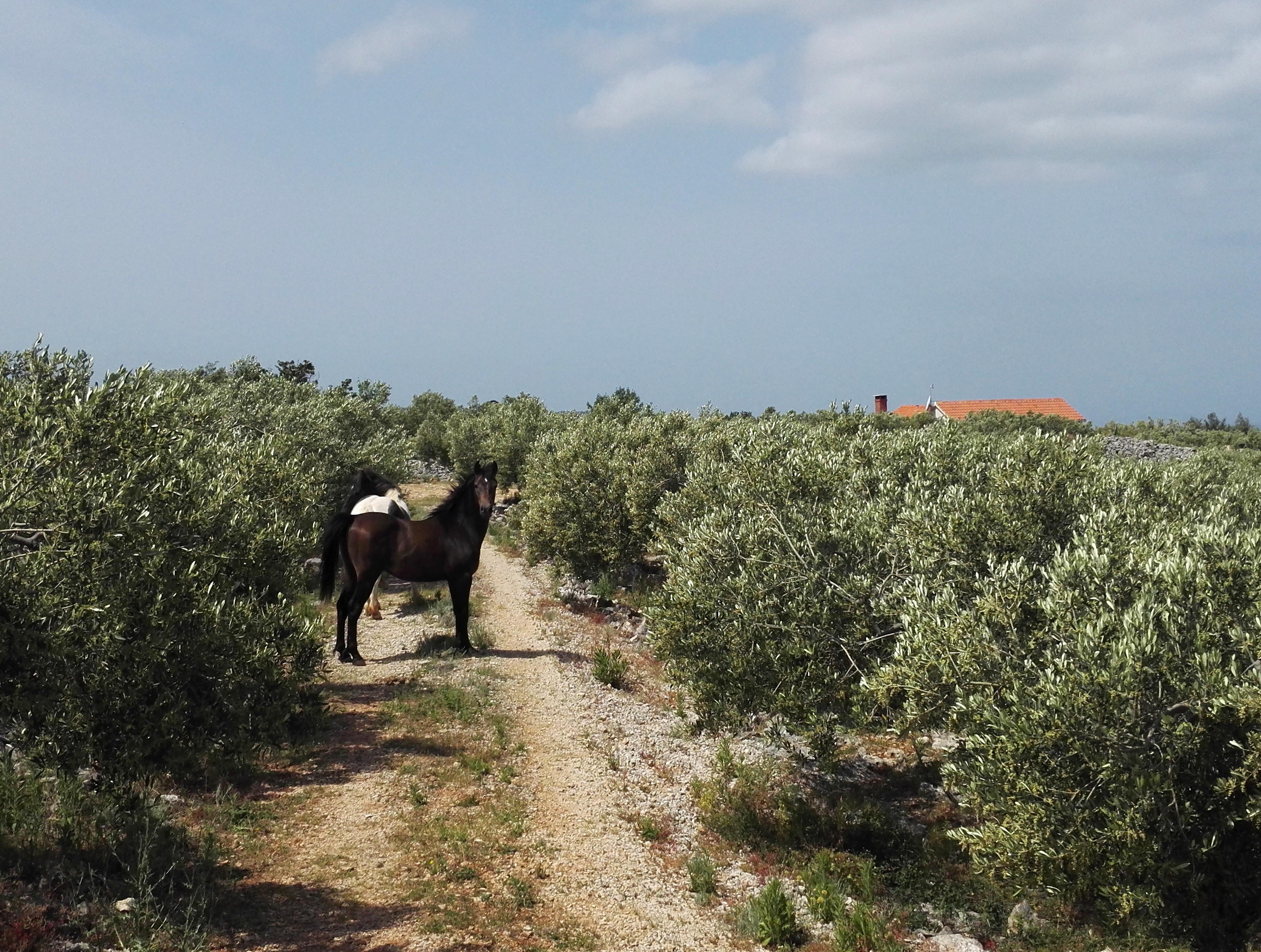 maaseutu hevoset