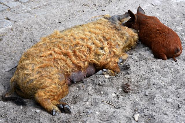 Herzogenriedpark Mannheim. Die rotlockigen Wollschweine und ihre Kinder bei der Siesta ... Foto: Brigitte Stolle Juni 2017