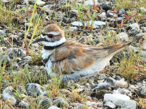 Killdeer at nest 04-20170617