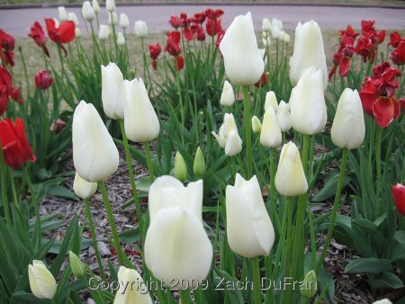 white_tulip_foreground