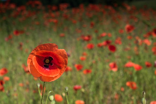 lonesome poppy | by Twyschkony