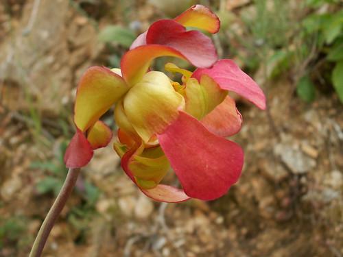 Sarracenia leucophylla 35083221495_7c114ba015