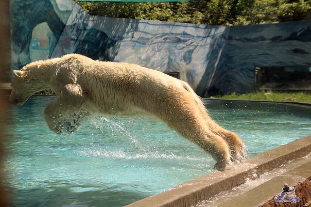 Eisbär Fiete im Zoo Sosto 29.05.2017 038