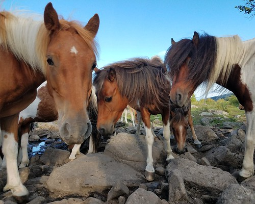 Wild ponies at Grayson Highlands State Park | by vastateparksstaff