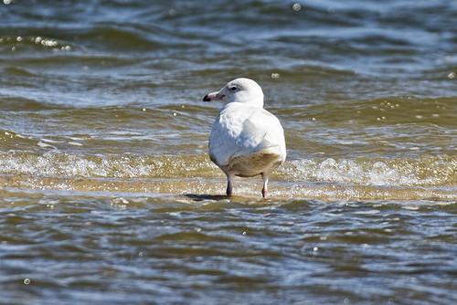 Mecox: Glaucous Gull, 1st Summer