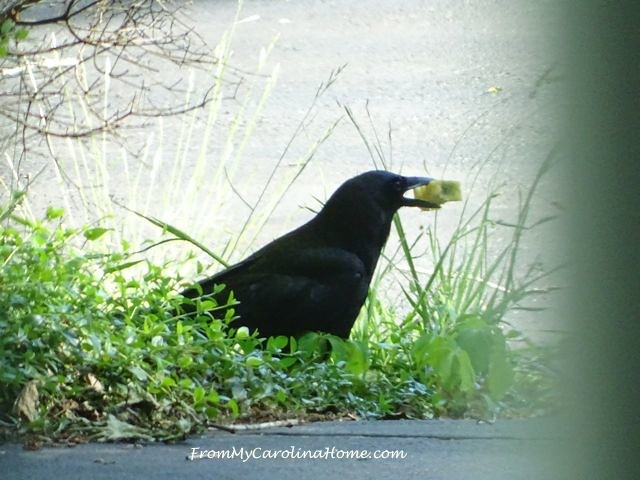 Crow with apple2