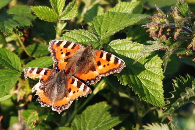 Mating Tortoise Shell Butterfly