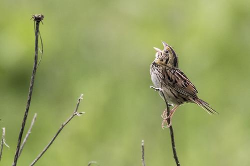Shawangunk Grasslands NWR: Henslow's Sparrow