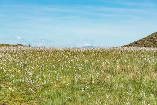 Wollgras am An Sgùrr auf der Insel Eigg