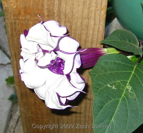 purple_datura_bloom