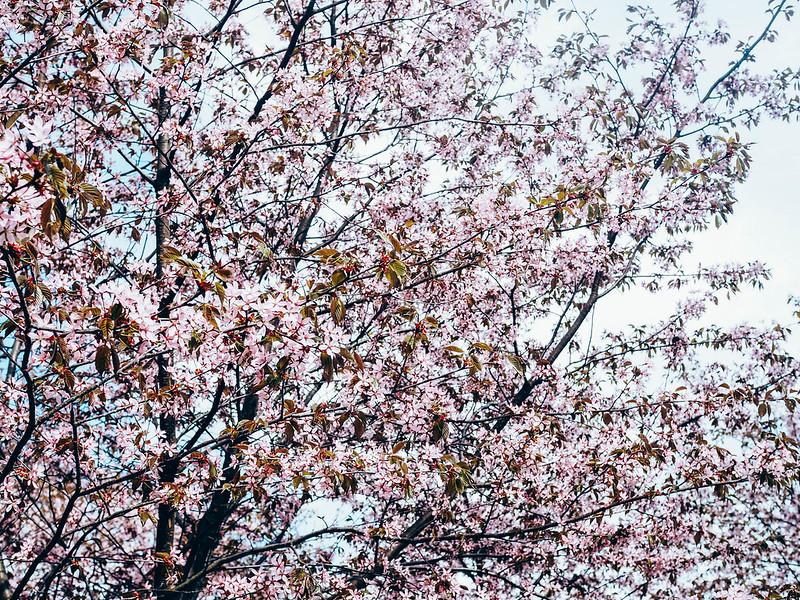 CherryBlossomSakuraHelsinkiP5206955.jpg,CherryBlossomParkHelsinkiRoihuvuoriP5206903.jpg, finland, helsinki, roihuvuori, kirsikkapuut, cherry trees, cherry blossom, kirsikkapuiden kukinta, pink flowers, pinkit kukat, kirsikankukat, toukokokuu, may, sakura, cherry blossoms, cherry park, kirsikkapuisto,