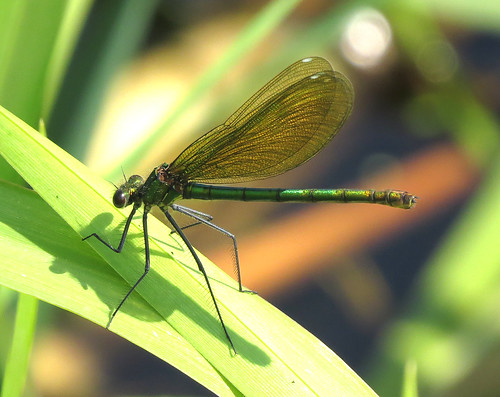Banded Demoiselle Calopteryx splendens Tophill Low NR, East Yorkshire May 2017