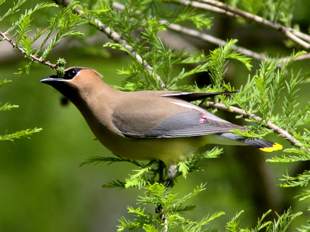 Cedar Waxwing checking cyoress buds 2-20170521