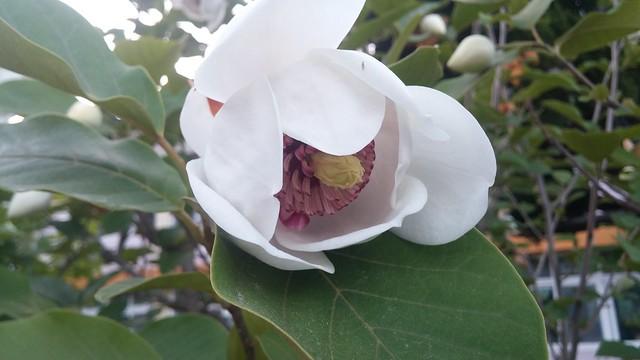 함박꽃나무
